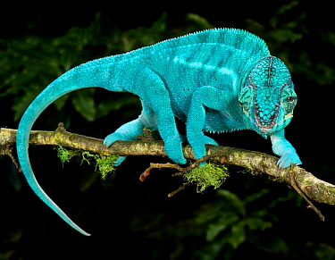 Panther chameleon (Furcifer pardalis) coloured blue, walking along branch, captive, from Madagascar