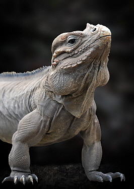 Rhinoceros iguana (Cyclura cornuta) captive, from Hispaniola, Caribbean, Vulnerable species