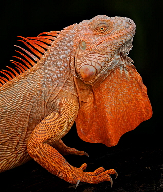 Common iguana (Iguana iguana) albino, captive, from Central and South America