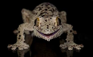 Mossy leaf-tailed gecko, (Uroplatus sikorae) captive from Madgascar