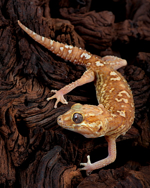 Madagascar Ground Gecko / Big headed gecko(Paroedura Pictus) captive, from Madagascar