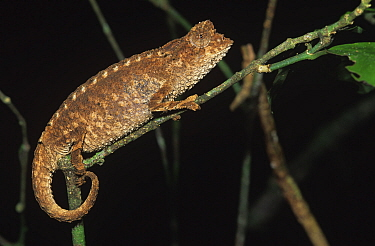 Stump-tailed chameleon (Brookesia decaryi), Mt d'Ambre NP, Madagascar