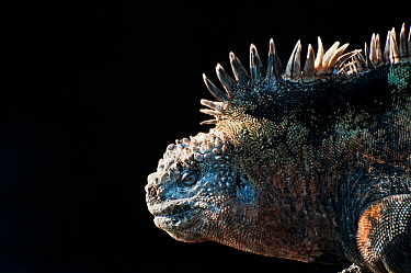 Marine iguana (Amblyrhynchus cristatus) in profile against dark background. Galapagos Islands, Ecuador, December.