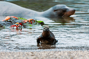 Marine iguana (Amblyrhynchus cristatus) emerging from sea onto beach, with Sally lightfoot crabs (Grasopus graspus) and Galapagos Fur Seal in background. Galapagos Islands, Ecuador, June.