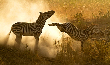 Plains Zebra (Equus quagga) in a dominance fight with dust flying, Lake Magadi, Serengeti, Tanzania.