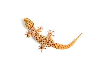 Turkish gecko (Hemidactylus turcicus), captive, occurs the Mediterranean, with re-grown tail.