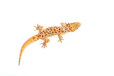 Turkish gecko, (Hemidactylus turcicus) with re-grown tail, captive, occurs Mediterranean region.