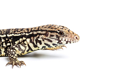 Argentine black and white tegu (Tupinambis merianae) captive, occurs South America