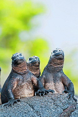 Marine iguanas (Amblyrhynchus cristatus) sky-pointing position to keep cool in sun. Punta Espinosa, Fernandina Island, Galapagos Islands, Ecuador, June.