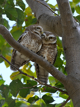 Spotted owlets (Athene brama) two huddled in tree, Keoladeo Ghana National Park, Bharatpur, Rajasthan, India, March