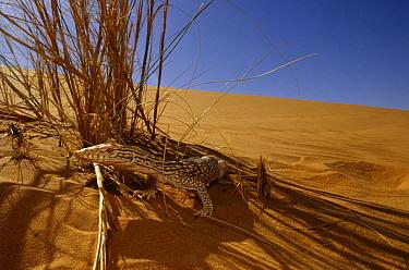 Desert monitor (Varanus griseus) in shade of grass, near Chinguetti, Mauritania