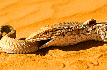 Desert monitor (Varanus griseus) trying to ingest a Sand Viper (Cerastes vipera) a venomous species which is biting the Desert monitor, near Chinguetti, Mauritania Controlled conditions