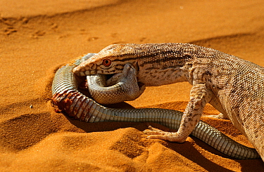 Desert monitor (Varanus griseus) trying to eat a Sand Viper (Cerastes vipera) a venomous species which is biting the Desert monitor, near Chinguetti, Mauritania Controlled conditions