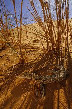 Desert monitor (Varanus griseus) in shade of grass, near Chinguetti. Mauritania