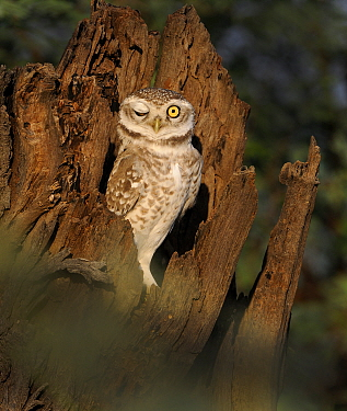 Spotted Owlet (Athene brama) with one eye closed, Bharatpur, India