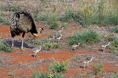 Greater Rhea (Rhea americana america) with chicks, Emas National Park, Goias State, Cerrado region, Central Brazil.