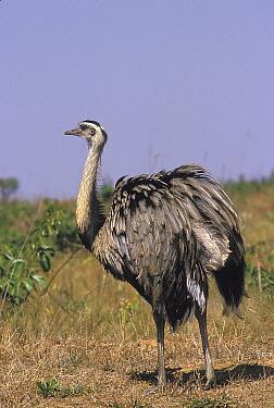 Greater Rhea (Rhea americana americana)  Emas National Park, Goias State, Cerrado region, Central Brazil.