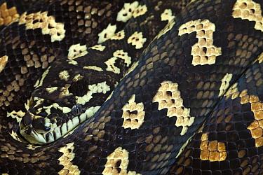 Western Australian carpet python (Morelia spilota), captive.