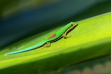 Lined Day Gecko (Phelsuma lineata bifasciata) on leaf, Canal de Pangalanes, East Madagascar, Africa