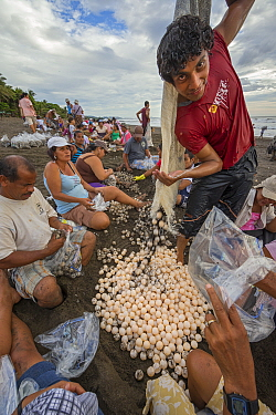 Villagers collecting eggs from Olive ridley sea turtles (Lepidochelys olivacea) during the first two days of the arribada (mass nesting event). This is the only place in the world where it is legal to...