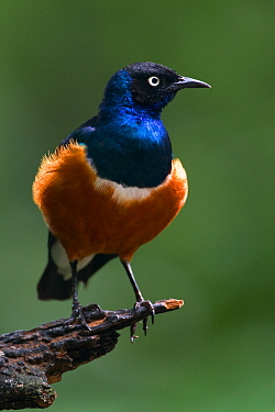 Superb starling (Lamprotornis superbus) perched on branch, East Africa.