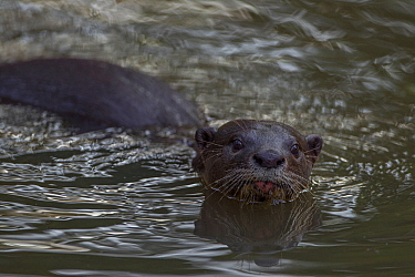 Smooth Otter (Lutrogale perspicillata) in water, Singapore.