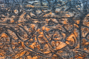 Bark beetle (Scolytinae) 'galleries' or tracks in the wood of dead spruce tree, Yellowstone National Park, USA.