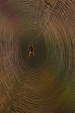 Garden Spider (Araneus diadematus) on web with dew, Germany, September.