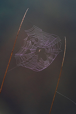 Lesser garden spider (Metellina segmentata) on web with dew, early morning, Germany