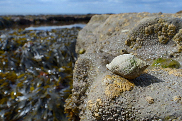 Dog whelk (Nucella lapillus), a predator of barnacles, on rocks encrusted with Common barnacles / Northern rock barnacles (Semibalanus balanoides) exposed at low tide, with seaweed, a rock pool and th...