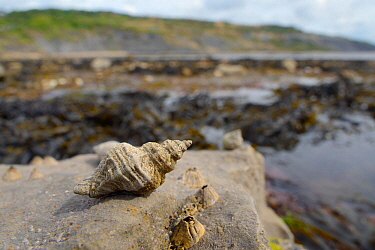 European oyster drill / Sting winkle (Ocenebra erinacea) a pest of oyster beds, on rocks low on the shore alongside Acorn barnacles (Balanus perforatus) exposed at low tide, with seaweed, rock pools a...