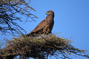 Brown Snake Eagle (Circaetus cinereus) perched in Acacia tree, Serengeti, Tanzania.