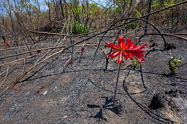 Flower (possibly Hippeastrum sp.) in flower after fire, many flowers in the region have fire induced flowering. Chapada dos Veadeiros National Park, Cerrado region, Goias, Brazil.