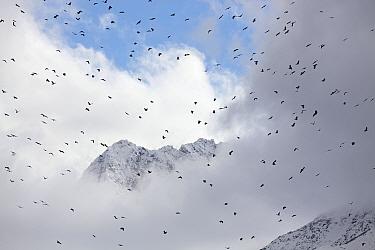Flock of Red billed choughs (Pyrrhocorax pyrrhocorax) in flight, Basongcuo National Park, Qinghai Tibetan Plateau, China, November.
