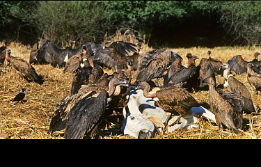 Indian White-rumped Vulture (Gyps bengalensis) and Slender-billed Vulture (Gyps tenuirostris) feeding on cow carcass at Bharatpur India,  January 1990 - before the Indian Vulture conservation crisis c...