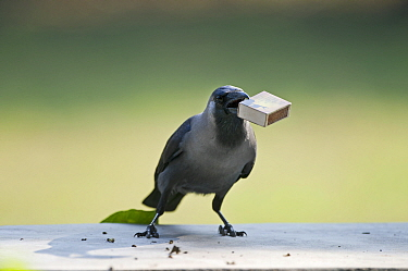 House Crow (Corvus splendens) stealing match box from table Bharatpur, India.