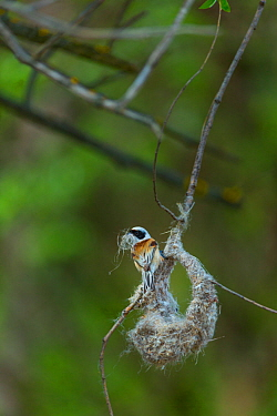 Eurasian penduline tit (Remiz pendulinus) building nest. Shumen, Bulgaria, April.