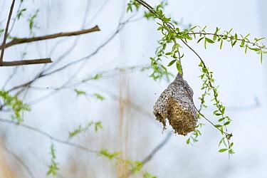 Eurasian penduline tit (Remiz pendulinus) nest hanging from branch. Shumen, Bulgaria, April.