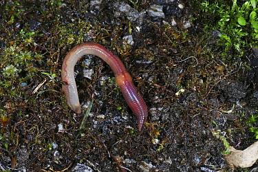 Earthworm (Lumbricus terrestris) found beneath plant pot. Surrey, England, February.
