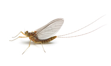 Mayfly (Chloeon dipterum) Surrey, England, May.