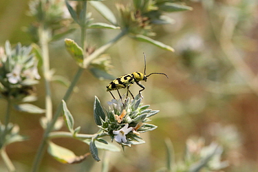 Longhorn beetle (Chlorophorus varius) on Horehound (Marrubium peregrinum) Bulgaria, July.