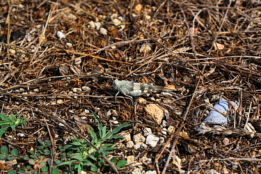 Red-winged grasshopper (Oedipoda miniata) male resting, Bulgaria, July.