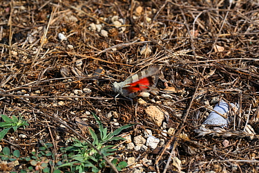 Red-winged grasshopper (Oedipoda miniata) male displaying a flash of red, Bulgaria, July.