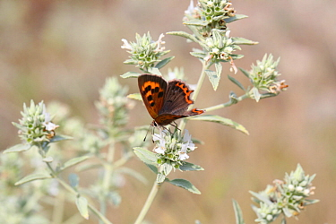 Small copper butterfly (Lycaena phlaeas) on Horehound (Marrubium peregrinum) Bulgaria, July.