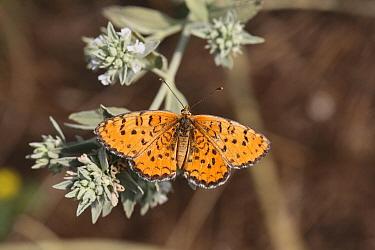 Spotted fritillary butterfly (Melitaea didyma) on Horehound (Marrubium peregrinum) Bulgaria, July.
