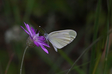 Wood white butterfly (Leptidea sinapis) Bulgaria, July.