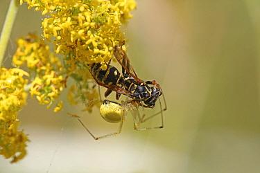Spider (Thomisidae) predating Paper wasp (Polistes nimpha) Bulgaria, July.