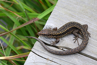 Common viviparous lizard (Lacerta vivipara) on wood, Surrey, England, September.