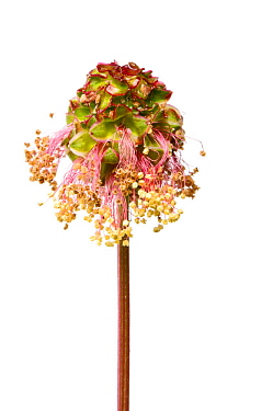 Salad Burnet (Sanguisorba minor) in flower, Slovenia, Europe, June. meetyourneighbours.net project
