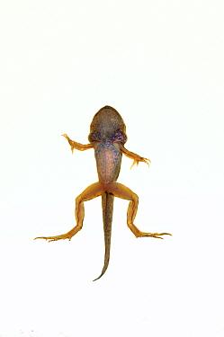Edible frog (Pelophylax esculentus) froglet with tail, Mechtersheim, Rhineland-Palatinate, Germany, July. meetyourneighbours.net project